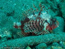BD-090927-Lembeh-9274487-Dendrochirus-zebra-(Cuvier.-1829)-[Zebra-turkeyfish.-Zebradrakfisk].jpg